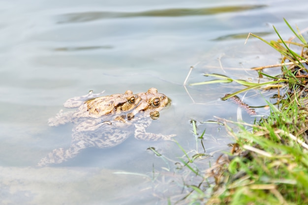 Rãs de acasalamento no lago