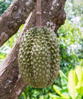 Rasgar durian orgânico