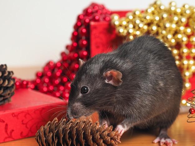 Rat dumbo com galo na frente da caixa com decoração de ano novo, símbolo do ano