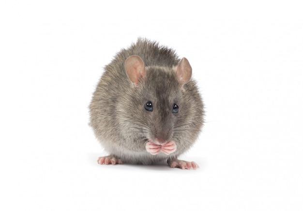 Ratinho cinzento
