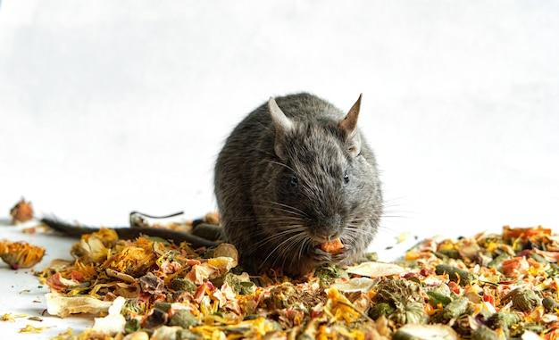 Rato azul degu sentado na popa desintegrada, banner com espaço para texto