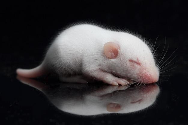 Rato bebê em um espaço preto
