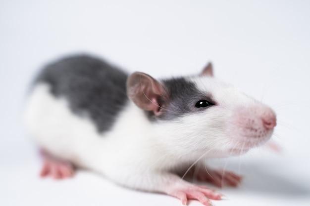 Rato branco e cinza isolado em close-up de fundo branco. laboratório científico. experimentos em animais.