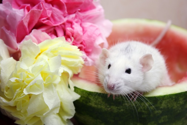Rato branco sentado ao meio de uma melancia perto de flores coloridas de guardanapos.