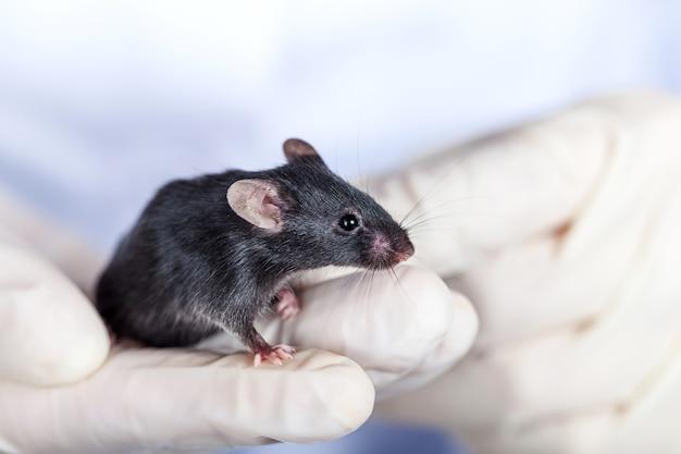 Rato cinza em mãos humanas