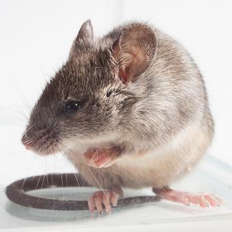 Rato cinza, filmado de perto contra um fundo claro