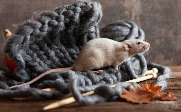 Rato cinzento bonitinho, rato sentado em um tricô,