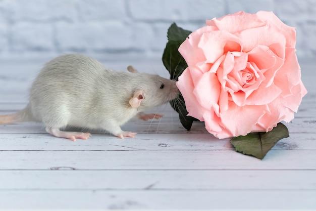 Rato cinzento bonito decorativo senta-se ao lado de uma flor rosa. no fundo de uma parede de tijolos brancos. um close-up de um roedor.
