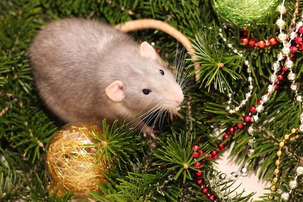Rato cinzento em uma árvore de natal natural. símbolo do ano novo no calendário chinês.