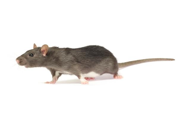 Rato cinzento isolado em fundo branco