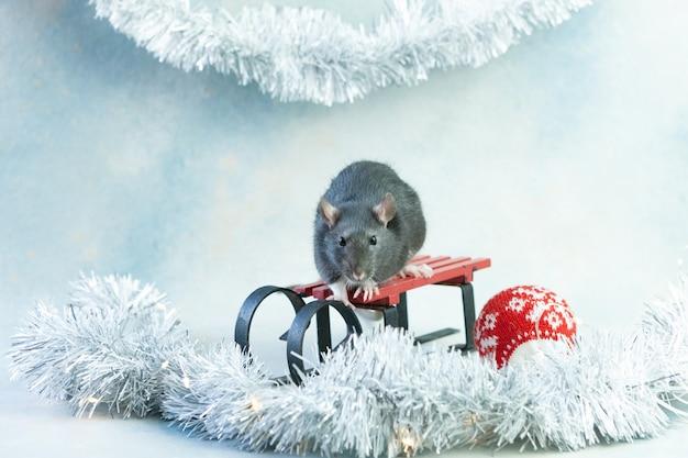 Rato cinzento pequeno bonito, rato que senta-se em um trenó.