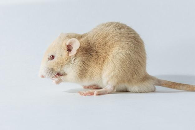 Rato de laboratório branco isolado no fundo branco