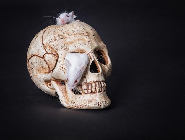 Rato de laboratório branco sai da órbita de um crânio de plástico