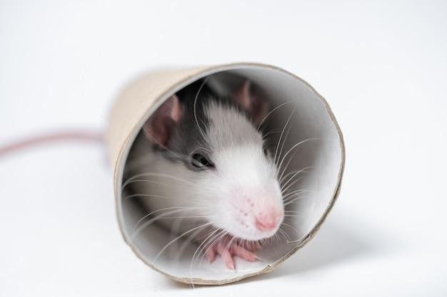 Rato de laboratório com tubo