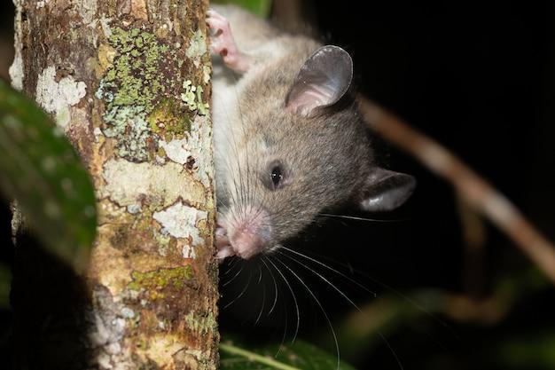 Rato de madagascar sobe nos galhos de uma árvore