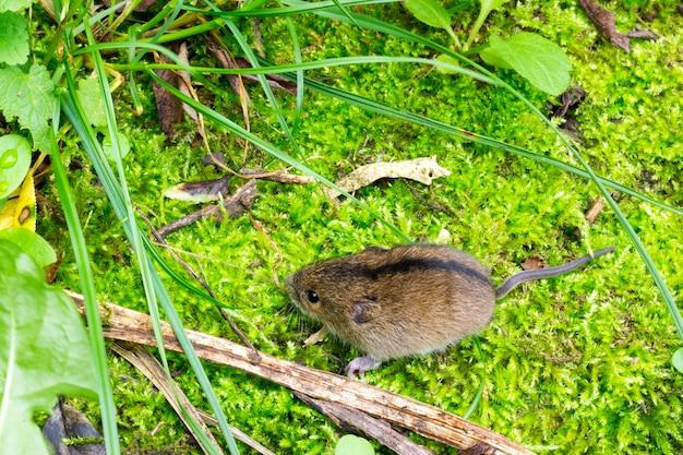 Rato de vidoeiro da floresta (sicista betulina) pequeno em seu habitat natural