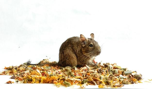 Rato degu sentado na popa desintegrada, banner com espaço para texto