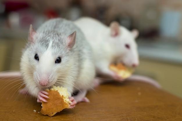 Rato doméstico branco comendo pão. animal de estimação em casa.