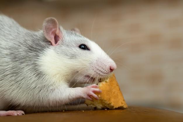 Rato doméstico branco comendo pão.