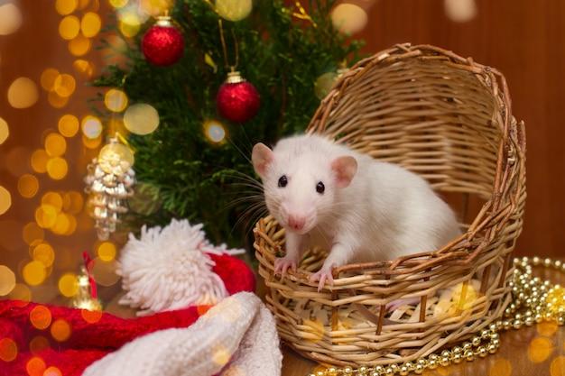 Rato doméstico branco em uma cesta com árvore de natal