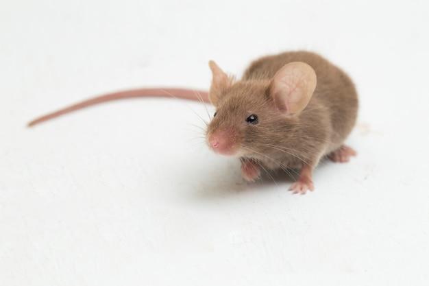 Rato doméstico cinza isolado
