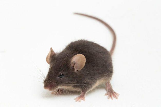 Rato doméstico comum preto isolado