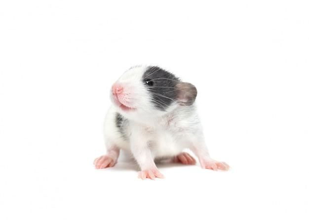 Rato doméstico em um fundo branco