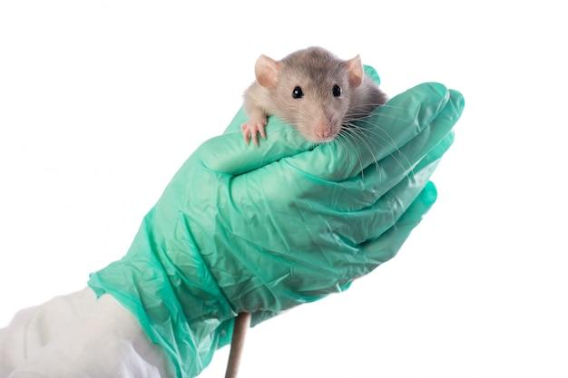 Rato dumbo nas mãos de um veterinário