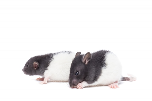 Rato em fundo branco