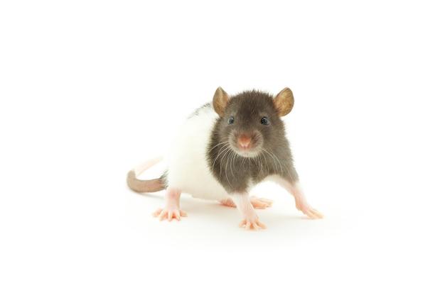 Rato engraçado isolado no fundo branco