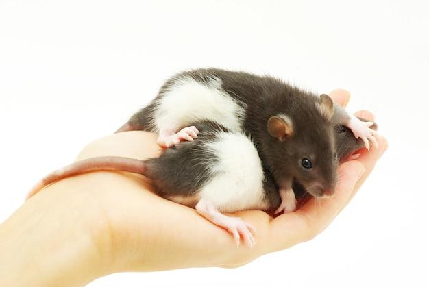 Rato engraçado nas mãos, isolado no fundo branco