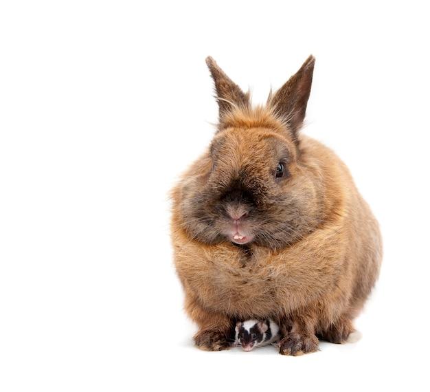 Rato escondido sob um coelho marrom. isolado no branco.