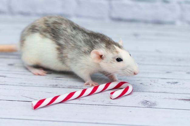 Rato fofo cheira o bastão de doces de natal. retrato de um close-up de roedor.