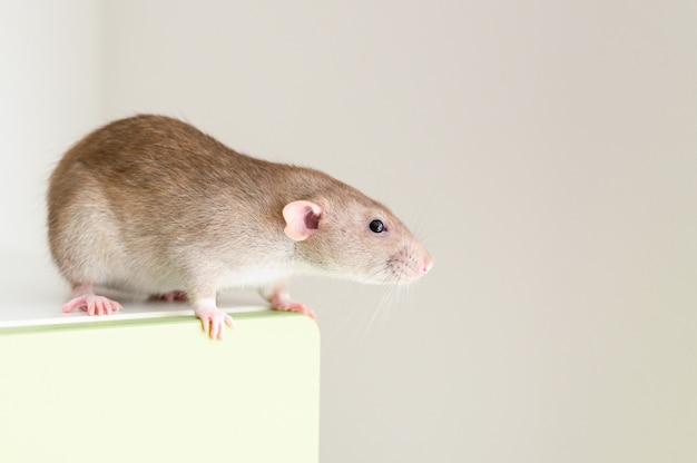 Rato fofo de estimação fofo com pelo bege marrom em uma parede branca