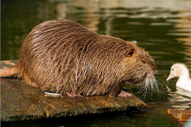 Rato grande do rio nutria ou coypu de perto