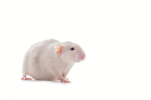 Rato grávida husky doméstico dumbo branco