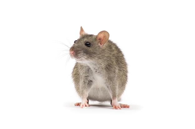 Rato isolado em fundo branco