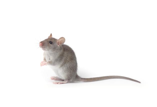 Rato isolado isolado no branco