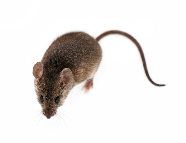 Rato isolado no fundo branco
