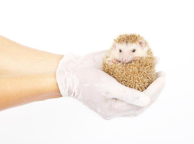 Rato-lua ou ouriço pigmeu africano na mão com luvas médicas