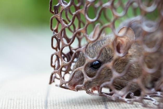 Rato na gaiola