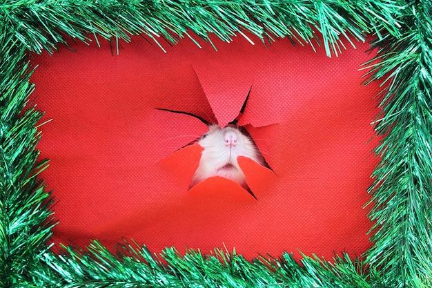 Rato olhando através de um buraco irregular no jornal para feliz ano novo chinês 2020