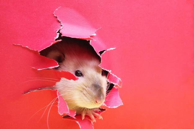 Rato olhando através de um buraco irregular no papel