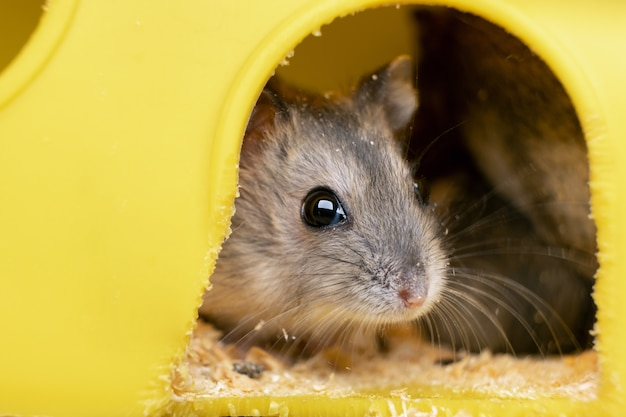 Rato pequeno hamster jungar cinza na gaiola amarela