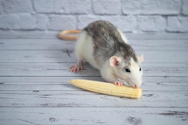 Rato preto e branco bonito decorativo comendo mini milho. close-up do roedor.
