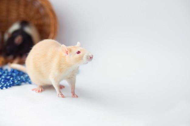 Rato vermelho com olhos vermelhos em um fundo branco.