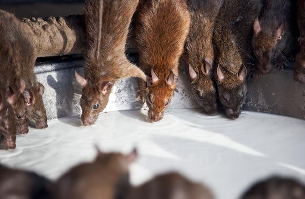 Ratos bebem leite no templo indiano de shri karni.
