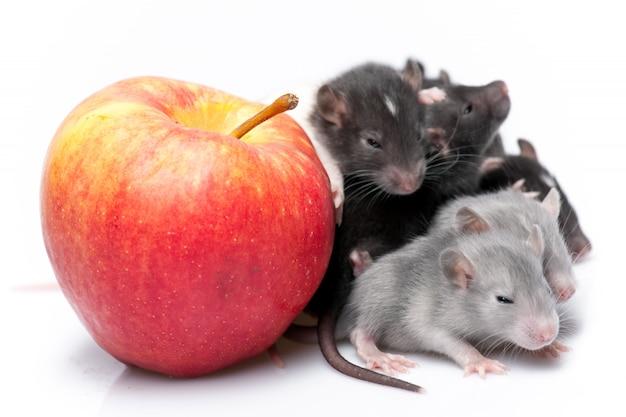 Ratos de bebê fofo