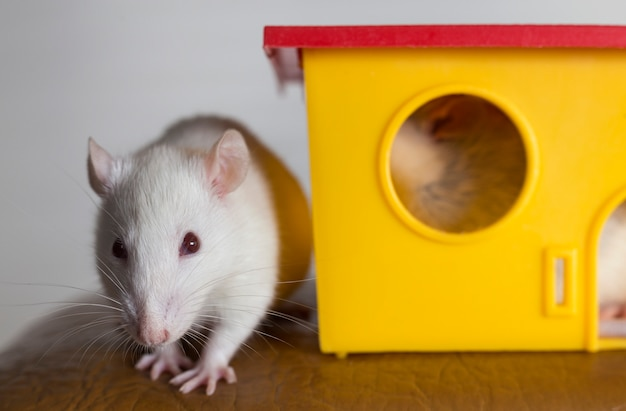 Ratos de estimação domésticos engraçados e uma casa de brinquedo