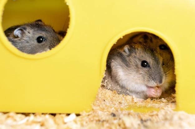 Ratos de hamster jungar cinza pequenos em gaiola amarela.